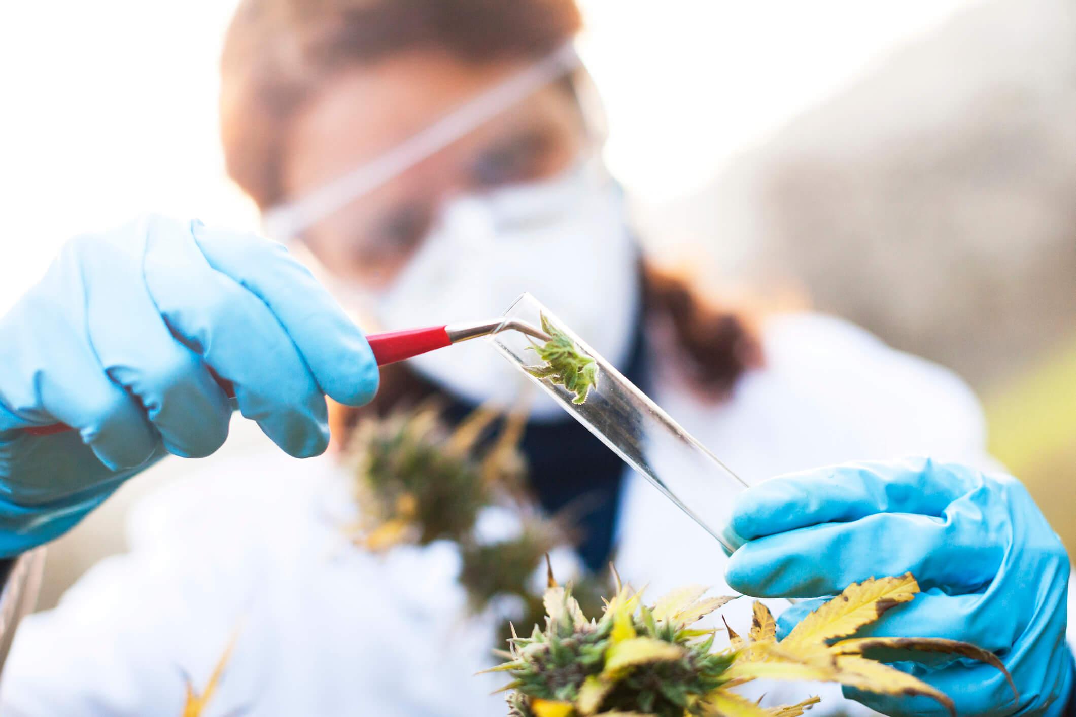 Histórico da discussão da proposta de regulamentação sobre a Cannabis Medicinal até o momento