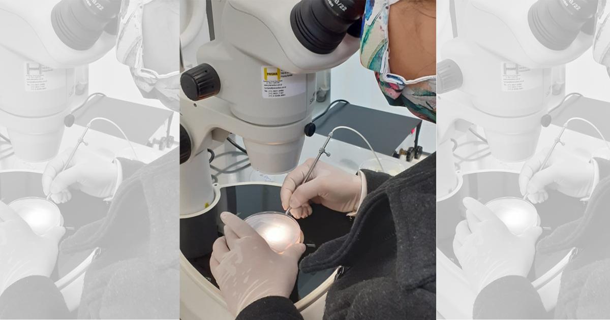Cientistas propõem uso do peixe paulistinha para testar segurança de vacinas de covid