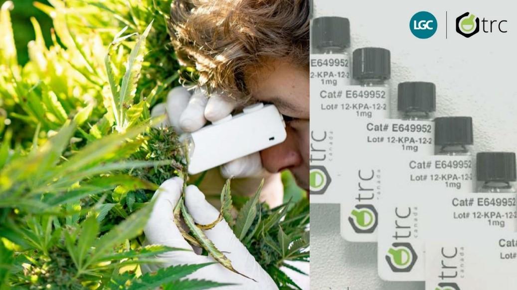 Pesquisa, Análise e Controle de Qualidade da Cannabis